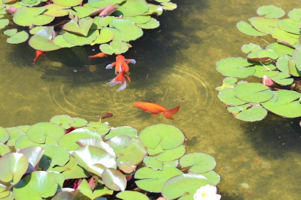 Fish pond & water feature maintenance